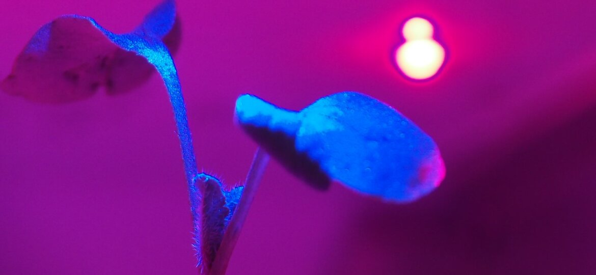 A young plant growing in a vertical farm under red LED lighting.