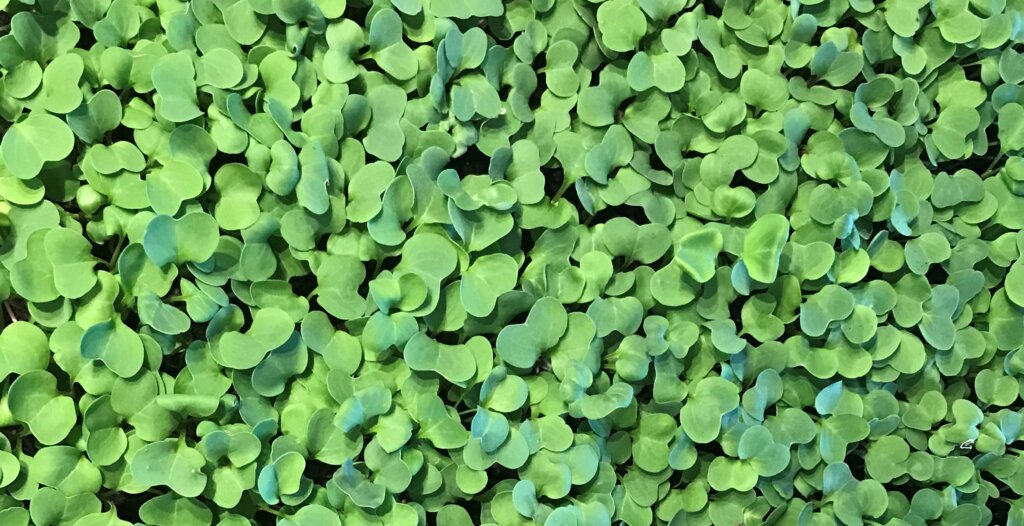 Image of lots of small green leaves grown using vertical farming methods.