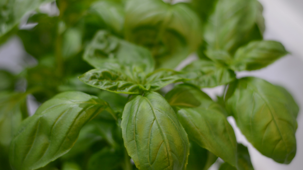Basil plant growing in a vertical farming setup.